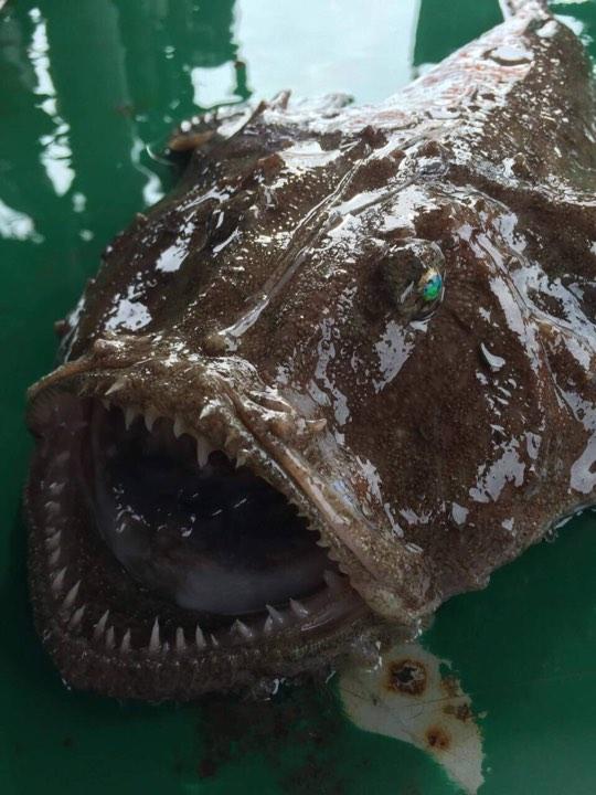 Feesh #новости Грузия, морской черт, рыба, Черное море