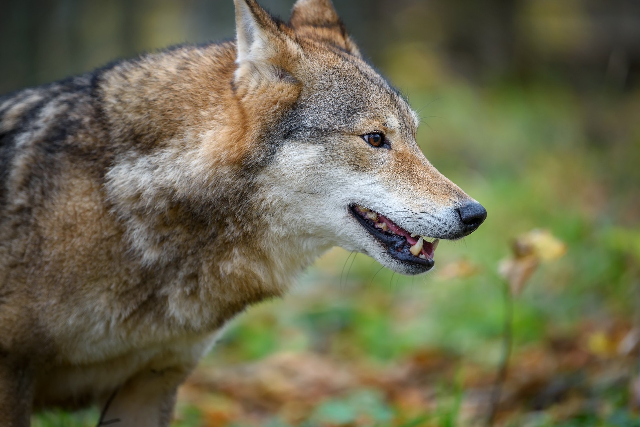 close up portrait wolf in autumn forest background FS4AFFD #новости Рустави